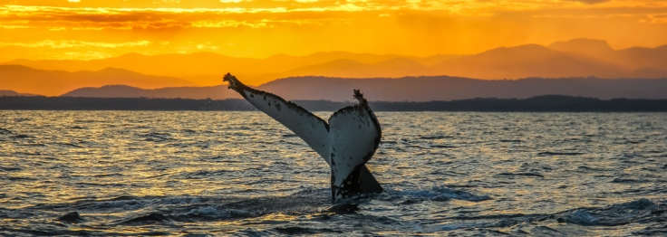 Whale tail at sunset